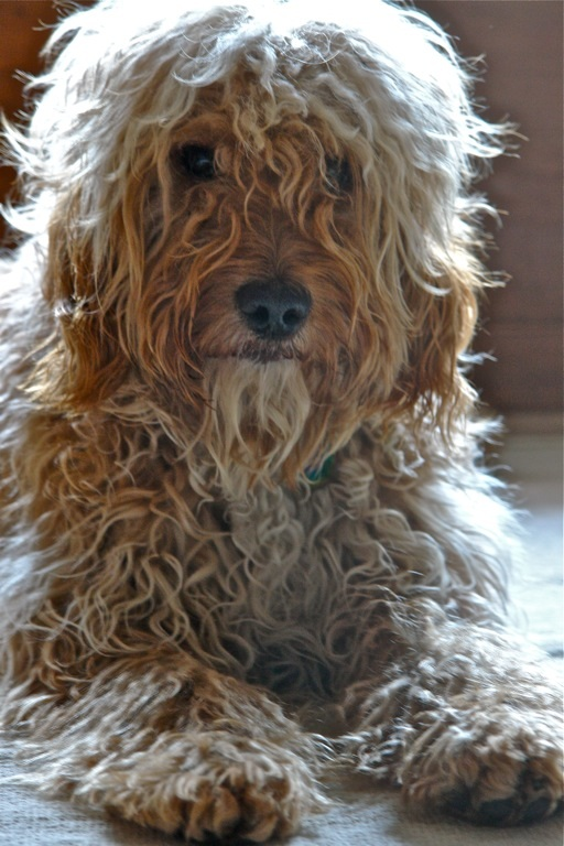 Cockapoo with an unclipped wavy coat